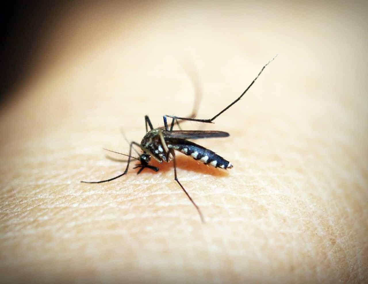 A mosquito biting someone